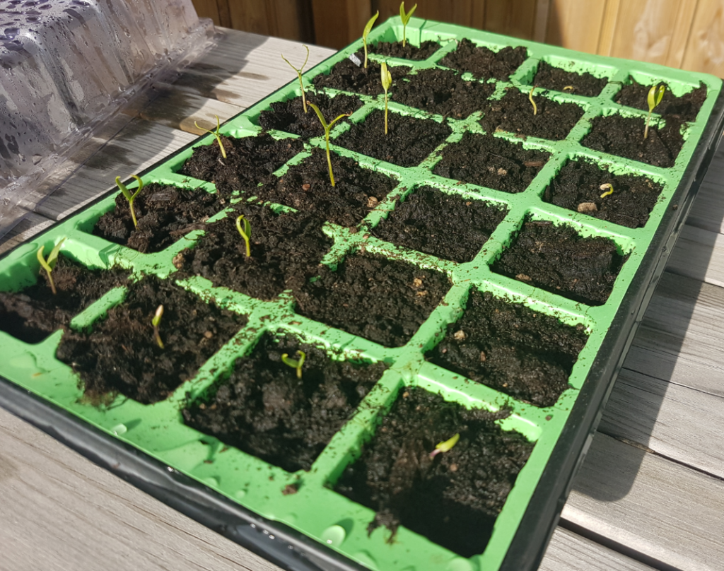 The Working At Home Mans seedlings May