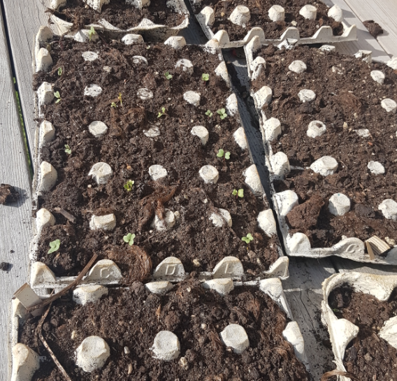 The Working At Home Mans carton seedlings May